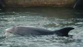 vista previa del artículo Delfines en la ría y otros animales marinos