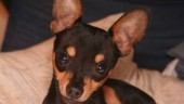 vista previa del artículo Todos los perros, del más grande al más pequeño