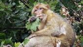 vista previa del artículo El último primate que vivió en Europa ha sido encontrado en el País Vasco
