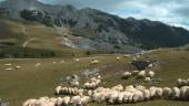 vista previa del artículo Nace una cooperativa de pastores vascos para comercializar leche de oveja